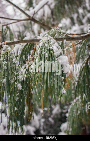 Long green leaves of Bhutan pine latin name Pinus wallichiana coverd with snow in the botanical garden in Belgrade, Serbia - Stock Photo