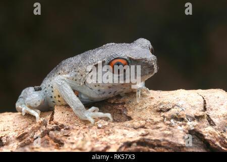 Spotted Litter Frog, Leptobrachium hendricksoni - Stock Photo