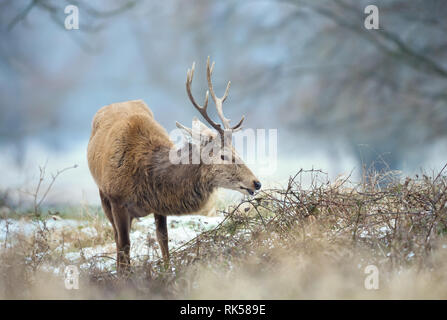 Close up of a Red deer stag eating twigs  in winter, UK. - Stock Photo