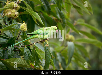 Close-up of a Ring-necked Parakeet perched on a tree branch, UK. - Stock Photo