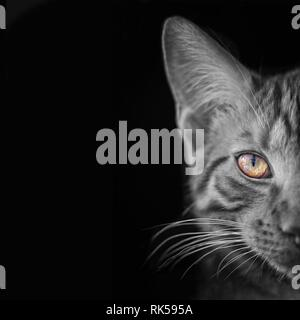 Closeup portrait of a tabby cat with vibrant eyes. Color-Key image with dark background and copy space.