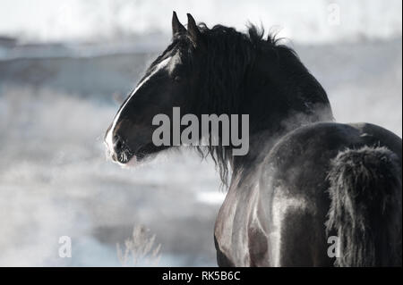 Black Vladimir heavy draft stallion looks back standing in the winter landscape. Horizontal, portrait, back view. - Stock Photo