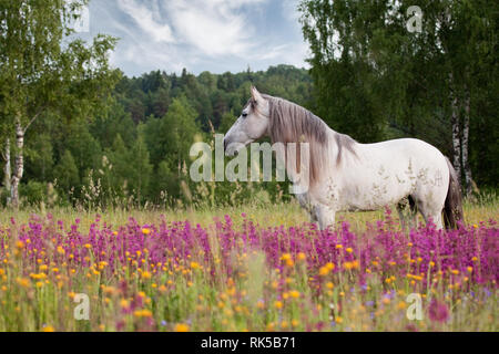 White spanish horse with long mane stand in the violet field in summer. Horizontal, side view. - Stock Photo