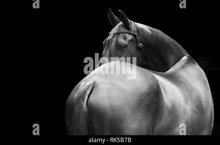 Horse in polo halter looks backwards isolated on black background. Horizontal, from the back, black and white. - Stock Photo