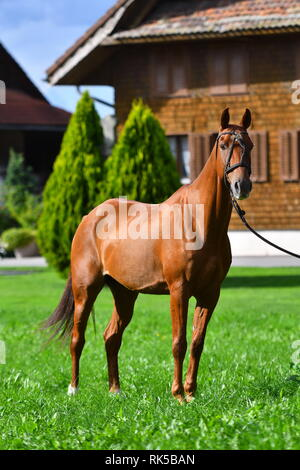 Chestnut horse in rope polo halter stands on the green looking into the camera. Vertical, front view. - Stock Photo