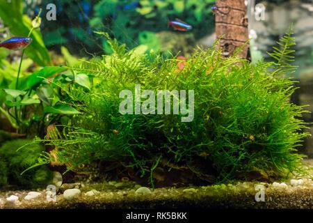 turf of java moss latin name Vesicularia in aquarium - Stock Photo