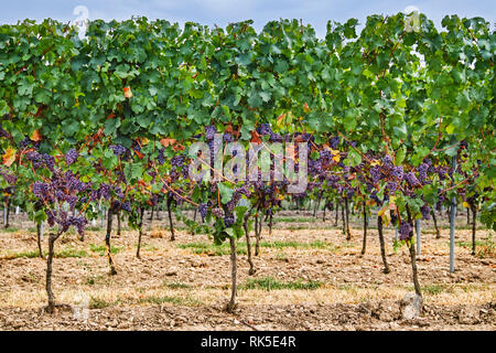 red wine grapes in vineyard - Stock Photo