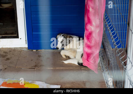 big white dog in the shelter house, charity and mercy theme, animal shelter, dog rescue, volunteer work - Stock Photo
