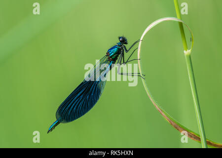 Beautiful nature scene with Banded demoiselle (Calopteryx splendens). Macro shot of Banded demoiselle (Calopteryx splendens) on the grass in the natur - Stock Photo