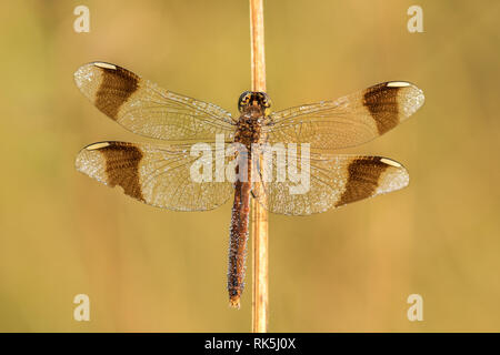 Beautiful nature scene with dragonfly Banded darter (Sympetrum pedemontanum). Macro shot of dragonfly Banded darter (Sympetrum pedemontanum) - Stock Photo