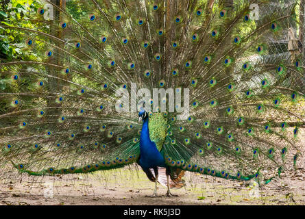 Peacock, with his feathers fanned out, at park near spa center in Uniejow in Wielkopolska or Greater Poland region, Poland - Stock Photo