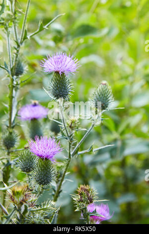 Cirsium vulgare, Spear thistle, Bull thistle, Common thistle, short lived thistle plant with spine tipped winged stems and leaves, pink purple flower - Stock Photo