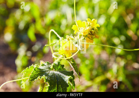 Blooming cucumbers in the garden. Selective focus. - Stock Photo