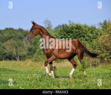 Slim bay Akhal-Teke mare walking in the summer pasture. Horizontal, sideways. - Stock Photo