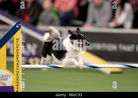 New York, USA. 09th Feb, 2019. Westminster Dog Show - Loa, an Icelandic Sheepdog, competing in the preliminaries of the Westminster Kennel Club's Master's Agility Championship. Credit: Adam Stoltman/Alamy Live News - Stock Photo