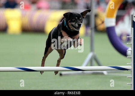 Westminster Dog Show - 9 February 2019, New York City:  Lucy, an All American Dog, competing in the preliminaries of the Westminster Kennel Club's Master's Agility Championship. - Stock Photo