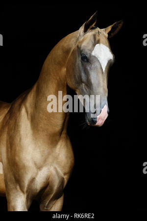 Portrait of a golden akhal teke stallion in three quarters view isolated on black background. Vertical photo. - Stock Photo