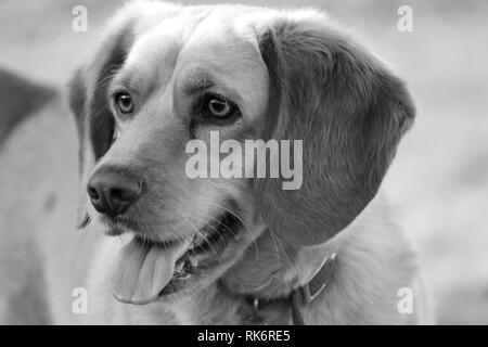 Lab Beagle Mix in Black and White - Stock Photo