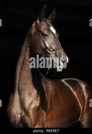 Portrait of black Akhal-Teke stallion in thin show halter, looking to the right. Vertical photo, isolated on black background,three quarter. - Stock Photo