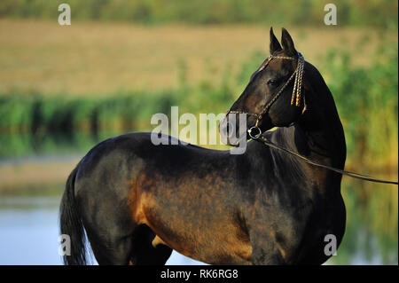 Dark bay Akhal-Teke stallion in traditional turkmen bridle standing sideways and looking back. Vertical, side view. - Stock Photo