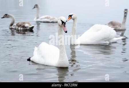 Beautiful white elegant swans bird on a foggy winter river. - Stock Photo