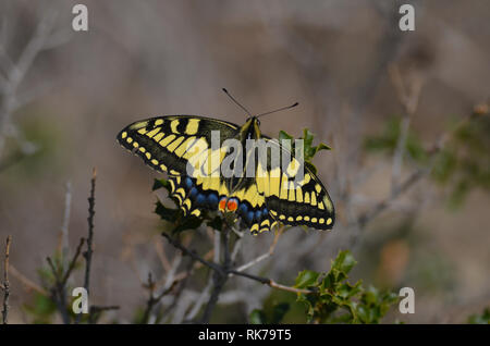 Papilio machaon, a migratory butterfly in Les Rodanes natural reserve, Valencia, Spain - Stock Photo