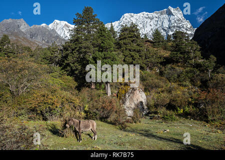 Pack animal at the foot of the Gangchhenta (Great Tiger Mountain) from Lemithang camp, Gasa District, Snowman Trek, Bhutan - Stock Photo