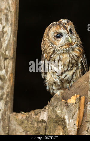 Barn Owl perched in in derelict cattle shed. Norfolk ...