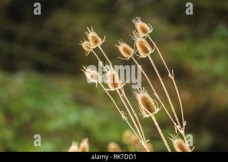 Teasels are a favourite food for many birds including the Goldfinch.Dipsacus is a genus of flowering plant in the family Caprifoliaceae. Landscape - Stock Photo
