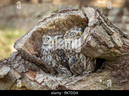 Owls, two little owls (Athene noctua) in natural woodland habitat, perched inside a fallen log and looking out. Little Owl is a species. Landscape - Stock Photo