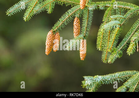 Branch of an Evergreen, a Spruce tree with large pine cones and colourful pine needles. Blurred green background. Nature concept. Space for copy. - Stock Photo