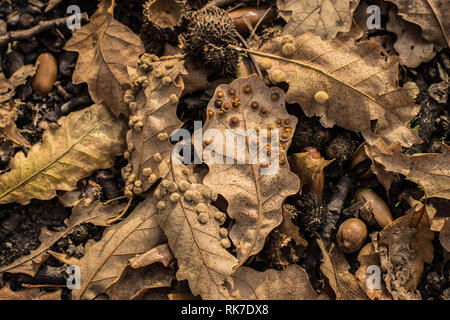 Insect galls on the oak leaf - Stock Photo