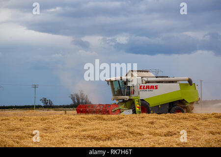 A Claas combine harvester working the rows of barley in a field out of Darfield, New Zealand - Stock Photo