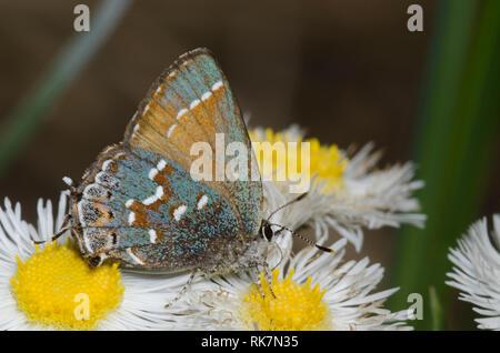 Juniper Hairstreak, Callophrys gryneus, nectaring from fleabane, Erigeron sp.