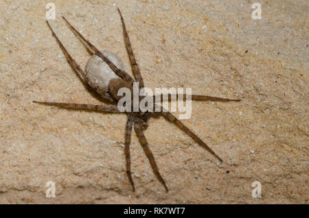 Thinlegged Wolf Spider, Pardosa sp., female with egg sack - Stock Photo