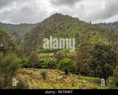Sheep grazing on rough pasture, abandoned farm land, regenerating forest hills, tree ferns and kanuka, Ahuahu Valley, Whanganui River, New Zealand - Stock Photo