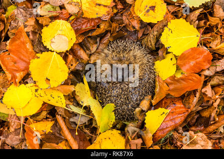 Hedgehog, native, wild,European hedgehog (Erinaceus Europaeus) curled into a ball, hibernating in colourful yellow, orange and brown Autumn. Landscape - Stock Photo