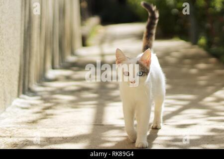White cat with heterochromia walking at backyard on a sunny day - Stock Photo