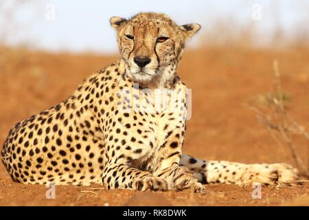 in the first light of dawn a cheetah is resting lying on the ground of the Savannah - Stock Photo