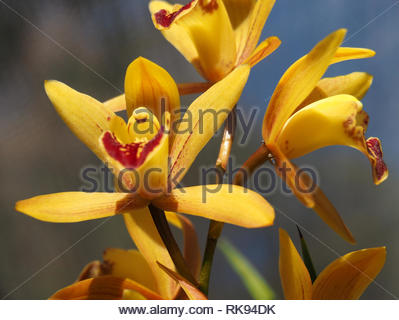 Golden Orchids, Barmera, SA - Stock Photo