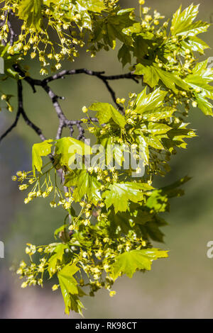 Norway Maple tree, Acer platanoides, early spring leaves and flowers - Stock Photo