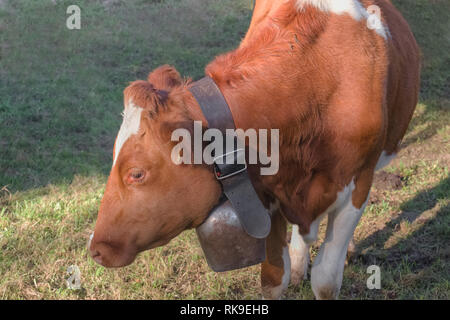 Brown Cow with bell in green meadow. - Stock Photo