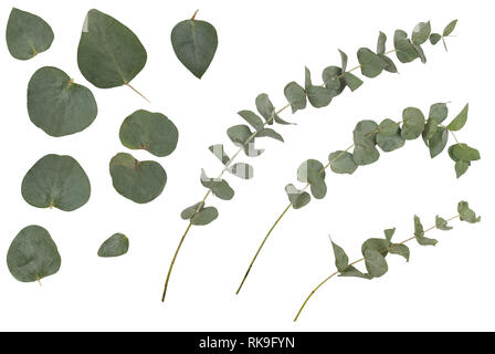 Eucalyptus cinerea, silver dollar; argyle apple, rustic green branches, twigs and leaves, isolated on white background - Stock Photo