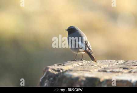 A beautiful male Black Redstart, Phoenicurus ochruros, perching on a fort wall in the UK. It is hunting for insects to eat. - Stock Photo