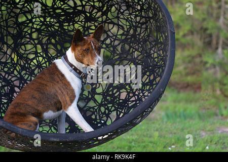 Basenji dog on grass outdoor  Basenji Kongo Terrier Dog  The