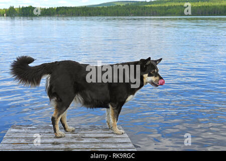 Lapponian herder (Lapinporokoira or Lapp Reindeer dog or Lapsk Vallhund) is licking on background of blue lake. Finnish Lapland - Stock Photo