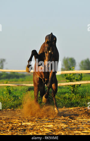 Angry stallion rears in paddock and hits with the front legs. Vertical, in the middle, in motion. - Stock Photo