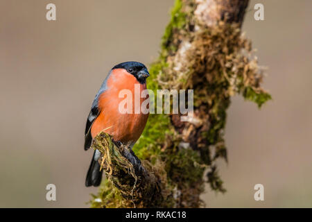 Blaenpennal, Aberystwyth, Ceredigion, Wales, UK. 10th February 2019. A male bullfinch (Pyrrhula pyrrhula) is enjoying the afternoon sunshine as the stormy weather moves on from mid Wales. Credit: Phil Jones/Alamy Live News - Stock Photo