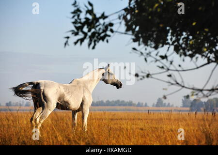 Light grey Akhal Teke stallion stands in the yellow meadow in autumn and looks in the distance. Horizontal,  from the back. - Stock Photo