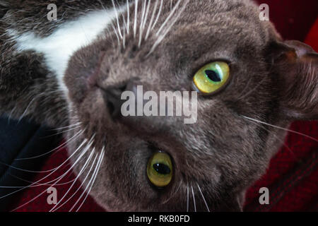 Portrait of a grey cat with green eyes - Stock Photo